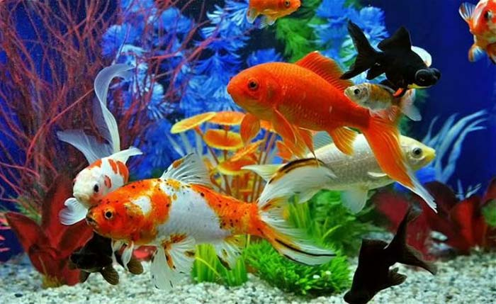 nên nuôi bao nhiêu cá trong bể